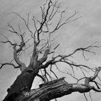 Старое дерево :: Ирина Красных