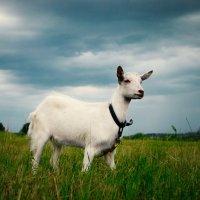 Эпичная коза :: Марьяна Медичи