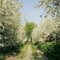 Цветут деревья :: Анжелика Судникова
