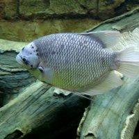 Белая рыба. :: Юлия Иванова (Константинова)