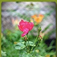роза :: Александр Стаховский