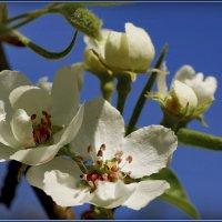 Пора цветения! :: Владимир Шошин