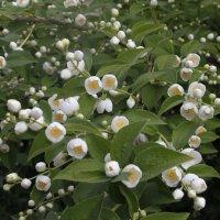 белые цветы :: esadesign Егерев