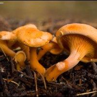 Говорушка оранжевая - Hygrophoropsis aurantiaca (Wulfen) Maire, 1921 :: Игорь Дементьев