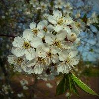 Вишня в цвету! :: Владимир Шошин