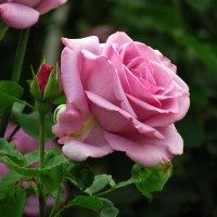 роза цвета сирени :: Marina Timoveewa