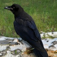 Чёрный ворон :: Алексей Масалов