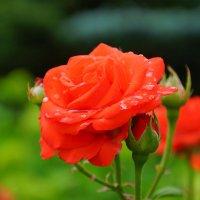 Монастырские розы :: Наиль Салихов