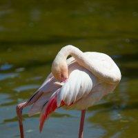 Па из танца маленьких фламинго... :: Вячеслав Мишин