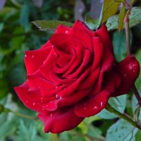 роза Black Magic :: Александр Корчемный