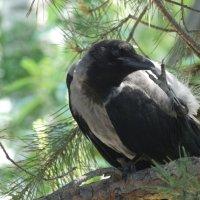 Педикюр по птичьи :: Валерия Нск