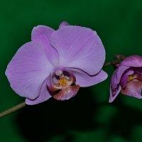 Орхидея :: Любовь Лыжина