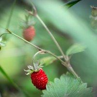 первая лесная ягода.. :: Эльмира Суворова
