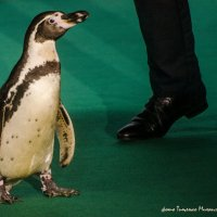 Киндыр-пингви я люблю :: Михаил Тищенко