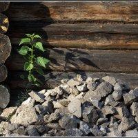 И на камнях растут... :: Михаил Розенберг