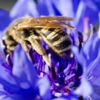 пчёлка :: Viktor Schwindt