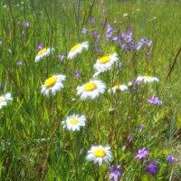 полевые цветы :: александр пеньков