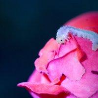 поедательница роз :: Денис Сидельников