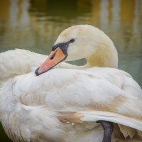 Лебедь :: Марина Назарова