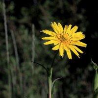 Желтый цветок :: Юрий Стародубцев