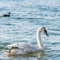Лебедь и уточка :: Денис Красненко
