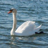 Белый Лебедь :: Денис Красненко