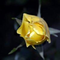 Роза... :: Ирина Федоренко
