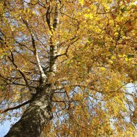 Осенняя береза :: Валерия Ястремская