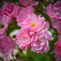Розовые розы .... :: Марина Захарова