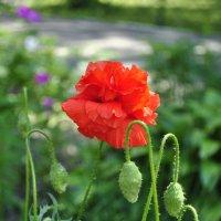 Аленький цветочек... :: Наталья Костенко