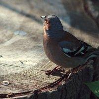 Гордый птиц Зяблик :: Тата Казакова