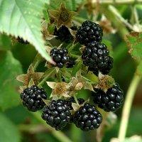 Эти сочные чё-ё-ё-ёрные ягоды я называю ежевичинками через минуту я доем. Завтра -  август.... :: Анатолий Снежань (Степан Непан)