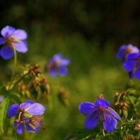 лютики-цветочки :: Александр Шурпаков