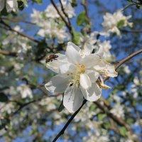 Яблоня в цвету. :: Елена Еремина