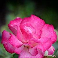 Розовая нежность. :: Ирина Бабушкина