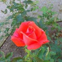 Роза :: Ольга Богачёва