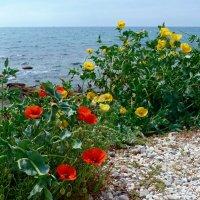 Маки и  море. :: Чария Зоя