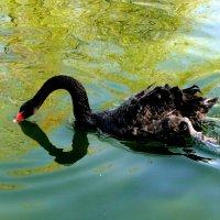Черный лебедь :: Елена Шемякина