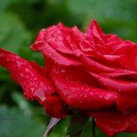 Роза под дождём. :: Антонина Гугаева