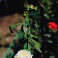 чудо-роза :: Юрий Гайворонский