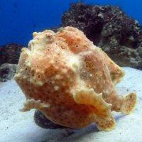 Рыба-лягушка. :: Чария Зоя