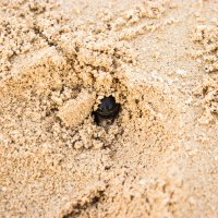 Песочный жук :: Татьяна Жуковская