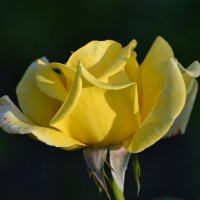 Роза :: Natali-C C