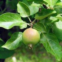 Запретный плод :: Елена Федотова