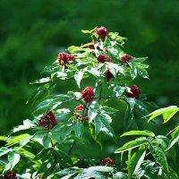 Лесная ягода :: Валерий Талашов