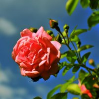 Роза чайная :: Андрей Куприянов