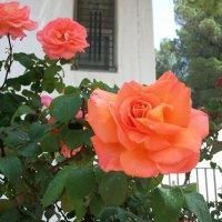Розы. :: Жанна Викторовна
