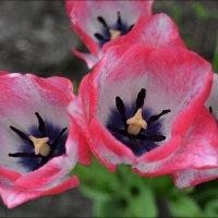 Нежные тюльпаны :: Natal&na Фотолюбитель