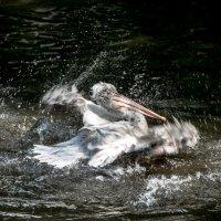 Водные процедуры по-пеликаньи :: Юрий Антонов
