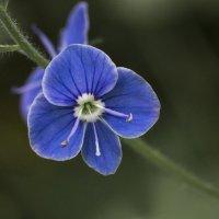 Синий цветочек :: Татьяна Иванникова